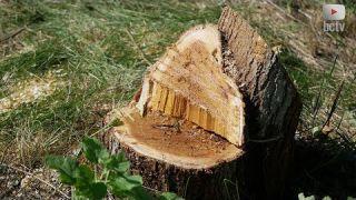 Для чого зрізали дерева на масиві Піщаному?